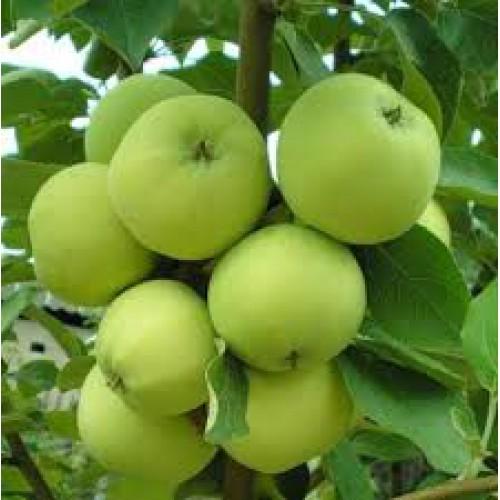 папироянтарное яблоня фото
